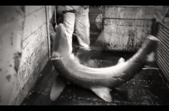 Horror of shark finning